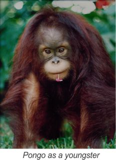 Pongo_as_youngster
